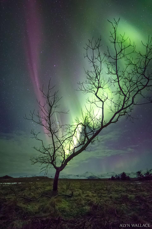 L'arbre et l'aurore