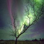 L'arbre à aurores