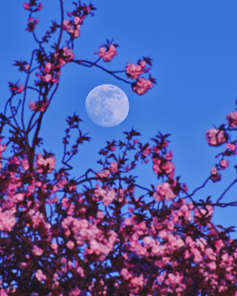 Lune rose de périgée
